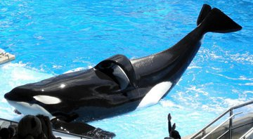 Tilikum, a baleia assassina - Wikimedia Commons