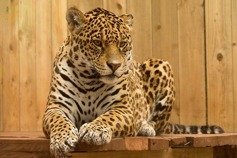 A Bela Fera Que O Resto Do Mundo Conhece Por Jaguar